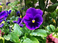 Pansies (Anna Gelashvili) Tags: pansies flower цветочки garden сад цветок flowers анютины глазки plant soil почва ყვავილი ყვავილები leaf macro bright лист макрос яркий იისფერიყვავილი