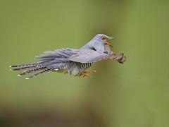 Cuckoo (S.Hatch) Tags: d4 exmoor cuckoo birds wild wildlife british