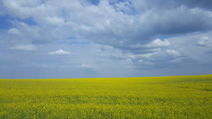 Landscape with rapeseed in Belarus (Frans.Sellies) Tags: 20180514163245 belarus беларусь landscape sunny clouds day cloudy