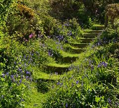 Bluebell-lined steps (Edmund Shaw) Tags: bluebells steps garden flowers outdoors romantic romantisch romantique flora blume sunlight spring colourful colorful redcampion campion jacinthedesbois hasenglöckchen wildehyazinthe green verdant escalier verdoyant vert grün verde
