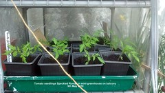 Tomato seedlings Speckled Roma'' in mini-greenhouse on balcony 9th May 2018 (D@viD_2.011) Tags: tomato seedlings speckled roma minigreenhouse balcony 9th may 2018