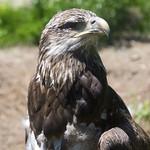 Akron Zoo 06-06-2014 - Immature Bald Eagle 2 thumbnail