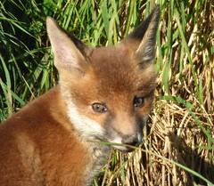 Fox Cub (Peanut1371) Tags: fox mammal cub nationalgeographicwildlife