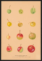 n3_w1150 (BioDivLibrary) Tags: apples drawings pears pictorialworks sovietunion watercolors cornelluniversitylibrary bhl:page=55916794 dc:identifier=httpsbiodiversitylibraryorgpage55916794 cornellcider