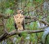 RT Hawk (Kevin James54) Tags: buteojamaicensis nikond850 redtailedhawk tamron150600mm wilmington animals avian bird hawk kevingianniniphotocom