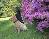 (Jean Arf) Tags: highlandpark rochester spring 2018 azalea bush tree flower blossom dog poodle dusty miniaturepoodle apricot nash standardpoodle