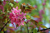 IMG_2189 (Joan van der Wereld) Tags: spring nature flowers blossoms blossoming tree pink green