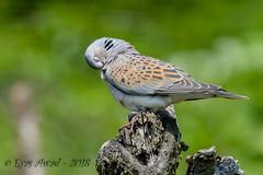 x3D40_3674 (Eyas Awad) Tags: tortoraselvatica streptopeliaturtur bird birds birdwatching wildlife nature eyasawad nikond4 nikond500 sigma500f45 nikonafs300mmf4