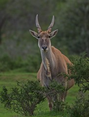 Eland in the bushes (Coisroux) Tags: eland buck deer wildlife portrait kwandwe d5500 nikond safari animals bushes mammal stag