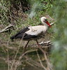 IMG_7627 (Christandl) Tags: niederösterreich nö österreich öst ö marchegg marchauen marchfeld storch storck bird birds wildbirds wildlife