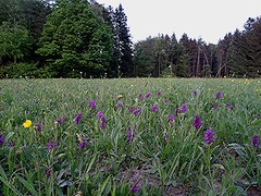 Wiese voll mit Breitblättrigem Fingerwurz - Dactylorhiza majalis, NGID1872927147 (naturgucker.de) Tags: ngid1872927147 naturguckerde breitblättrigefingerwurz dactylorhizamajalis 915119198 964235129 1372458834 chorstschlüter