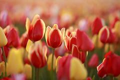 20180422-Canon EOS 6D-7145 (Bartek Rozanski) Tags: sassenheim zuidholland netherlands tulip bollenstreek nederland holland field agriculture morning farmland farming