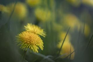Blick in die Butterblumenwiese...