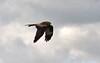 Red Kite ... Milvus milvus (AndyorDij) Tags: redkite milvusmilvus raptor birdofprey bird england 2018 empingham rutland uk unitedkingdom andrewdejardin spring