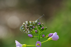 Orange Tip (microwyred) Tags: singleflower spring events season purple flower greencolor insect blue closeup wildflower summer plant macro outdoors butterfly orangetip blossom freshness flowerhead nature petal beautyinnature springtime wildlife