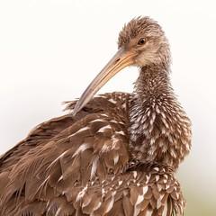 Limpkin (Rickfans76) Tags: limpkin circlebbarreserve birds waterbirds brown rickfanslerphotography nikond500 nature wildlife florida animals