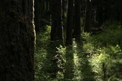Wolf Bar (Tony Pulokas) Tags: olympicnationalpark olympicpeninsula quinaultriver northforkquinaultriver tree forest oldgrowth blur bokeh tilt spring washington hemlock westernhemlock moss huckleberry blueberry