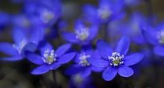 Spring blues (janrs7) Tags: macro blue spring colors colorful hepaticanobilis meritarf2950mm vintagelens april anemonehepatica macromademoiselle