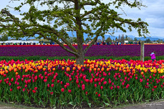 Skagit Valley Tulip Festival (Roozengaarde) (SonjaPetersonPh♡tography) Tags: laconner mountvernon mtvernon skagitvalley skagitvalleytulipsfestival skagitcounty skagitvalleytulipfestival washington washingtonstate stateofwashington tulips tulip gardens flowers tulipfields tulipfestival festival festivities nikon nikond5300 macro