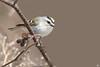 ''Nouvellement arrivé!''Roitelet à couronne dorée-Golden-crowned Kinglet (pascaleforest) Tags: oiseau bird animal passion nikon nature printemps spring light lumière wild wildlife faune québec canada migration