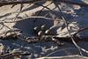 The nest (Steenjep) Tags: houvig vesterhav northsea beach strand sun sol sky cloud himmel wave bølge solnedgang sunset light lys commonringedplover storpræstekrave charadriushiaticula egg æg