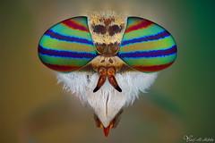 Horsefly (Yousef Al-Habshi) Tags: horsefly macro insect fly tabanidae uae abu dhabi yousef al habshi nikon d850