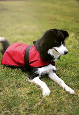 Evey (monsters.monsters) Tags: dog bordercollie highenergy breed pet family puppy heterochromia doggy outdoor outdoordog adventuredog canada