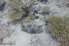 Riesen - Kugelfisch (blinker1990) Tags: kugelfisch riesen riesenkugelfisch meet rotesmeer redsee wasser water urlaub tauchen dive diving fisch sand arothronstellatus