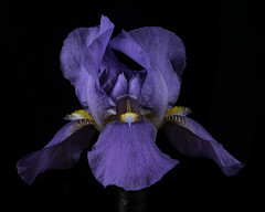 Purple Iris With Yellow And White Beards (Bill Gracey 21 Million Views) Tags: germanbeardediris iris purple beards fleur flower flor homestudio yongnuo yongnuorf603n softbox griddedsoftbox blackbackground macrolens tabletopphotography nature floralphotography offcameraflash lakeside
