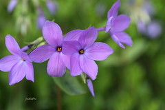 Happy May Day (Judecat (easing into summer)) Tags: nature mygarden woodlandphlox