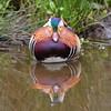 IS7DII_55555 (Ian Slingsby) Tags: portervalley bird mandarinduck forgedam sheffield