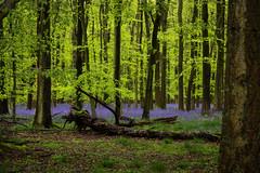 IMG_7760.jpg (ChodHound) Tags: ashridgeestate bluebells