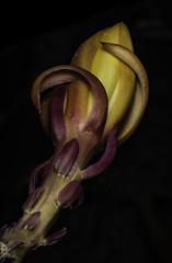 Epiphyllum Bud In The Light (Bill Gracey 18 Million Views) Tags: epiphyllum epi color colorful lakeside lastoliteezbox yongnuo yongnuorf603n darkbackground offcameraflash fleur flower flor nature naturephotography naturalbeauty shapes colors