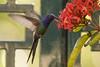 beija-flor-tesoura - eupetomena macroura (ricardo japur) Tags: wild nature cerrado birds fauna