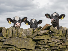 Peek-A-Moo (Craig Hannah) Tags: calf cows catle agriculture farming farm drystonewall boundry westyorkshire yorkshire wall animal nosy livestock peekaboo craighannah may 2018 photography canon fun funny calves young outside
