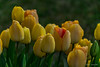 Tulipes (Didier Mouchet) Tags: tulipe fleur printemps spring jardin jaune didiermouchet d5300 nikond5300 nikon nature
