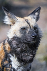 Potrait of a wild dog (Tambako the Jaguar) Tags: african wild painted dog canid canine posing portrait face close basel zoo zolli switzerland nikon d5 explore