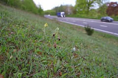 Fly Orchid, Ophrys x nelsonii, Ophrys insectifera X Woodcock Orchid, Ophrys scolopax 3.5.2018 (12) (wildlifelover69) Tags: woodcockorchidxflyorchidhybrid ophrysscolopaxxophrysinsectiferahybrid dorset 352018 wildflowers–wildorchids ophrysxnelsonii