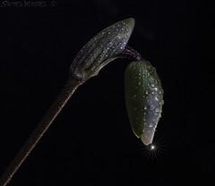 Impending Bloom (SkyeWeasel) Tags: macromondays lowkey flower bloom orchid slipperorchid paphiopedilum blackbackground starburst