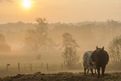 Frühstückszeit (rahe.johannes) Tags: westensee schleswigholstein sonnenaufgang nebel felder kühe landwirtschaft landschaft sonne morgenstimmung meinsh derechtenorden