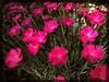 Front garden boom. #Takoma #dc #dclife #washingtondc #iphone #iPhonemacro #macro  #flower #flowersofinstagram (Kindle Girl) Tags: iphone takoma dc dclife washingtondc iphonemacro macro flower flowersofinstagram