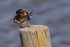 Hirondelle rustique - Hirundo rustica - Barn swallow - Oreneta vulgar (patricia.hoedts) Tags: espagne catalogne catalunya aiguamollsdelemporda aiguamolls hirondellerustique hirundorustica barnswallow orenetavulgar oiseau bird ocell canon canon6d sigma sigma150600contemporary