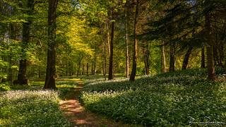 Path through Wild garlic in the woods