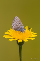 (Carolina Aparicio Ayora) Tags: margarita primavera spring mariposa color verde butterfly macro macrofotografia macrophotography naturaleza ngc