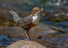DSC2434  Dipper... (jefflack Wildlife&Nature) Tags: dipper dippers birds avian animal animals wildlife wildbirds waterbirds riverbirds rivers streams waterways countryside nature