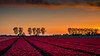 Sunset in Goeree Overflakkee, Netherlands (hboudeling) Tags: stadaantharingvliet southholland netherlands nl tulip tulips sunset field goeree holland 169