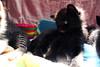 Lemi (Liliancopito (Kuroimo)) Tags: kittens suomi cat cradle babies sir villebert airo lemi silvestre nana black white lovely fluffy