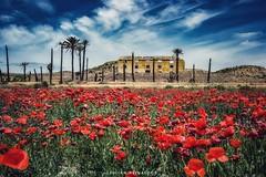 Amapolas #flores #red #amapolas #flowers #relax #campo #nubes (Julián Reinaldos) Tags: red flowers flores relax amapolas nubes campo