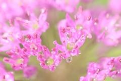 Pink (Manon van der Burg) Tags: reflections drops flower sigma105mm canon80d vanbovenaf bloem macrolover macrofotografie macro inthegarden pink aftertherain indetuin sierui allium