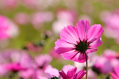 IMG_3537M Cosmos , 波斯菊 (陳炯垣) Tags: nature flower petal cosmos コスモス